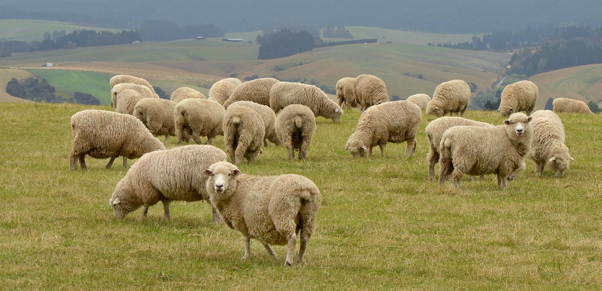 Sheep and Beef Farming